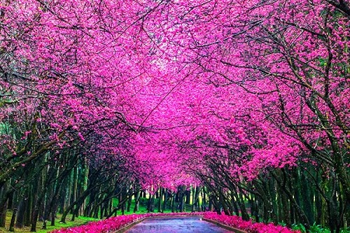 櫻花盛開在臺灣南投九族文化村_Cherry_blossom_-_Sakura_in_Formosa_Aboriginal_Culture_Village,_Nantou,_TAIWAN.jpg