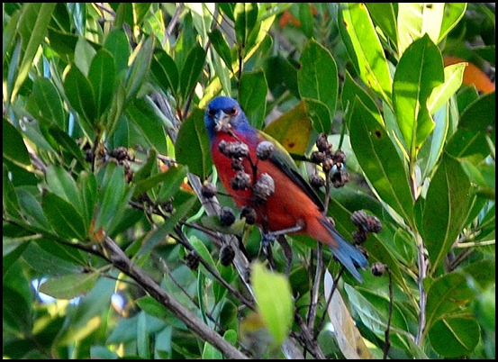01h - Early Morning Eco Pond - Painted Bunting