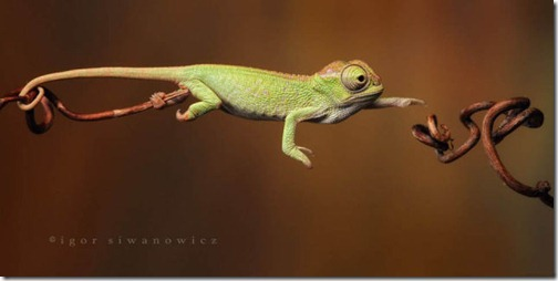 Они используют длинные хвосты, как дополнительные конечности. На снимке двуроговый хамелеон, обитающий в Танзании.
