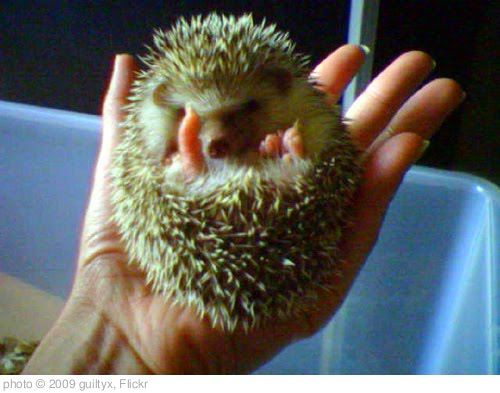 'african pygmy hedgehog hoglet' photo (c) 2009, guiltyx - license: http://creativecommons.org/licenses/by/2.0/