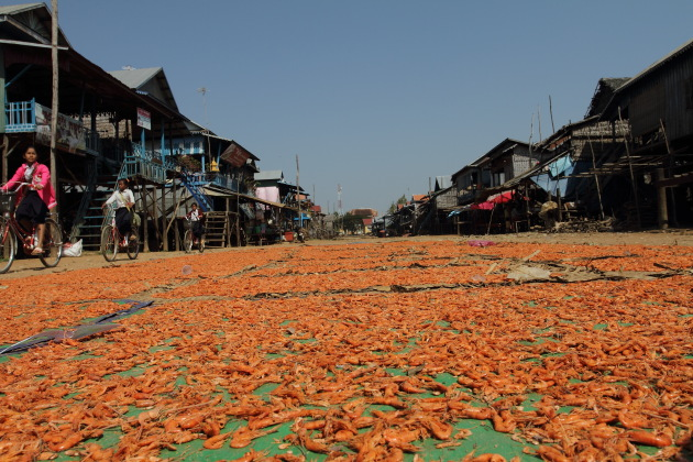 Shrimp Farming - one of the sources of income for Kompong Phluk, Cambodia