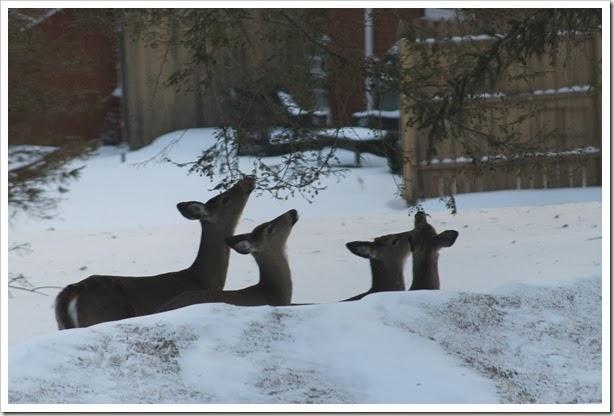 deer 020