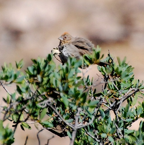 7. canyon towhee-kab