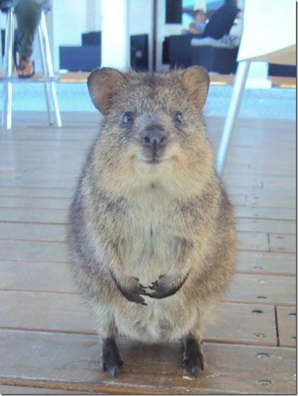 Quokka O animal mais feliz do mundo (8)
