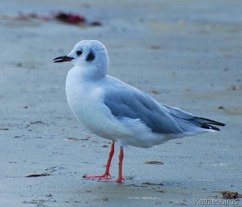 1. bonaparte's gull-kab