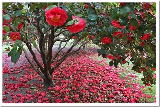 120317_Capitol_Park_Camellia-japonica_30
