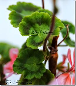 Pelargonium 23 juli, Liz vibeke 013