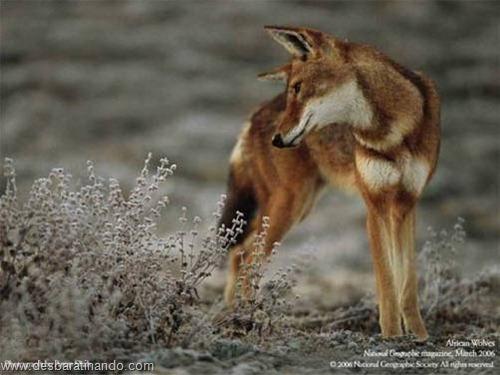 animais national geographic desbaratinando  (39)