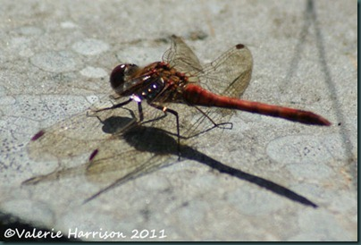 37-common-darter m