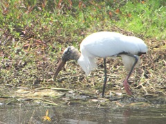 Florida 2013 Sanibel wood stork1