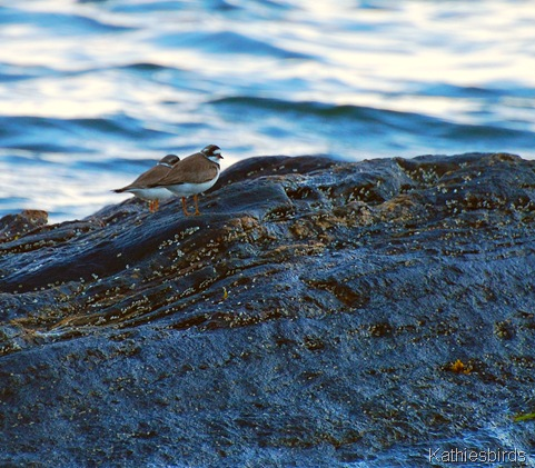6. plover-kab