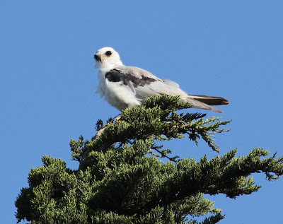 Whatz up, bitches? White-tailed Kite staring at something in the distance