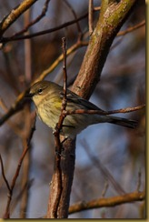 Yellow-rumped-Warbler D7K_6272 October 16, 2011 NIKON D7000