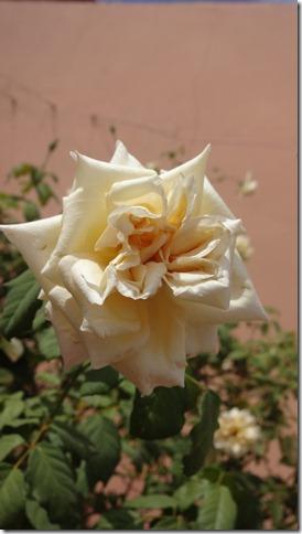 flor-flores-rosas-imagens1150