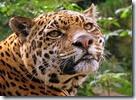 300px-Jaguar_at_Edinburgh_Zoo