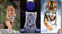 tiger samsung star wallpaper