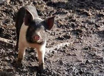 Amazing Pictures of Animals, Photo, Nature, Incredibel, Funny, Zoo, British Saddleback, Pig, Sus scrofa domesticus, Mammals, Alex (1)