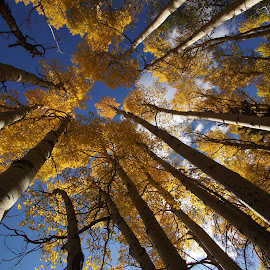 Under the Aspens by S. J. O'Connor - Landscapes Forests ( aspens nature colorado wide angle trees rocky mountains perspective )