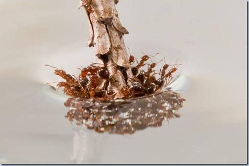hormiga roja flotando
