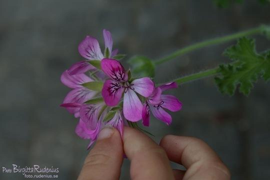 matteus_20110803_blomma