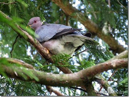 Band-tail Pigeon