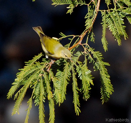 9. TN warbler-kab