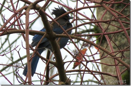 Steller's Jay in the bushes