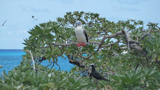 Red-footed Booby, Noddy.