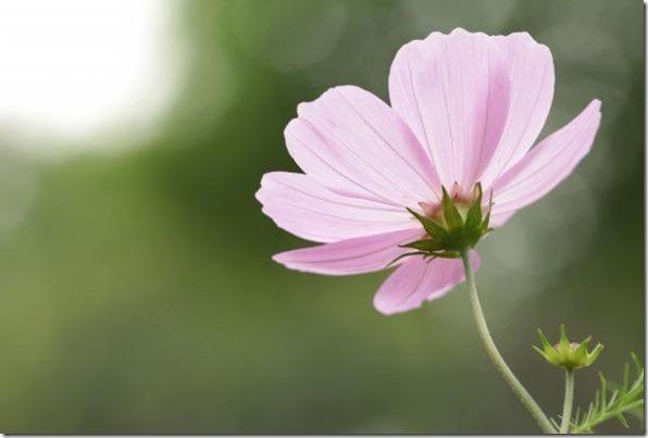 flores-facebook-tumblr-rosas-las flores-fotos de flores-754