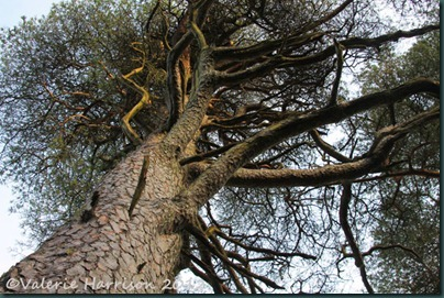 25-scots-pine
