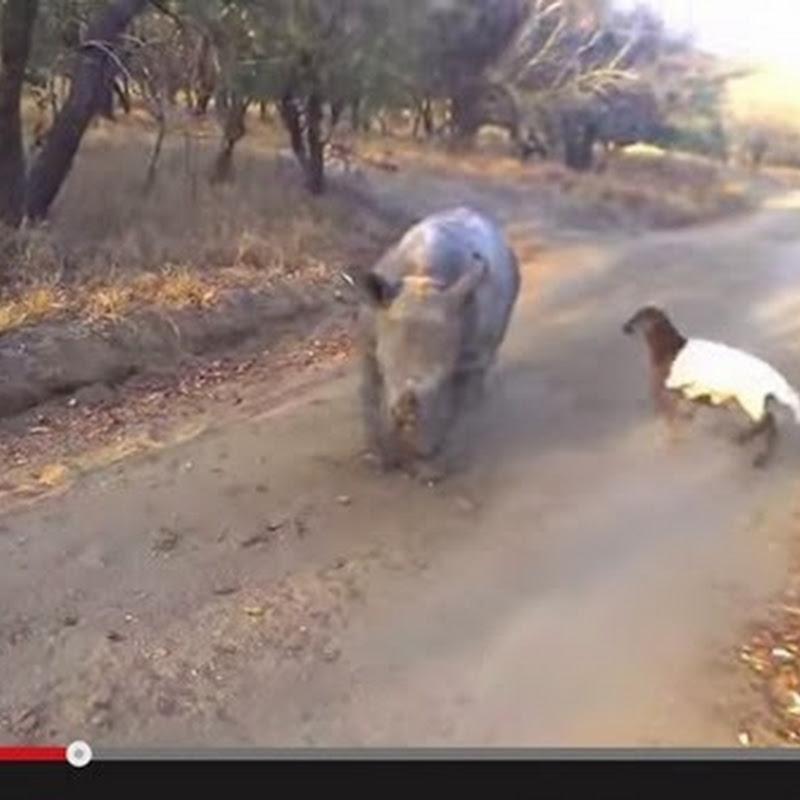 Μωρό ρινόκερος και κατσικάκι:  καλύτεροι φίλοι