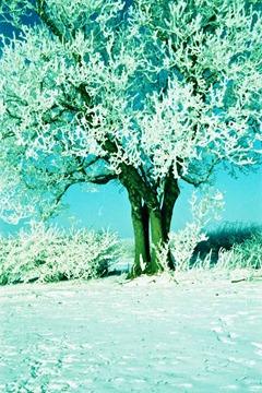 Snowy-Trees-2---XPRO