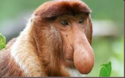 Amazing Pictures of Animals photo Nature exotic funny incredibel Zoo Proboscis monkey, long-nosed monkey, mammalia.Alex (1)