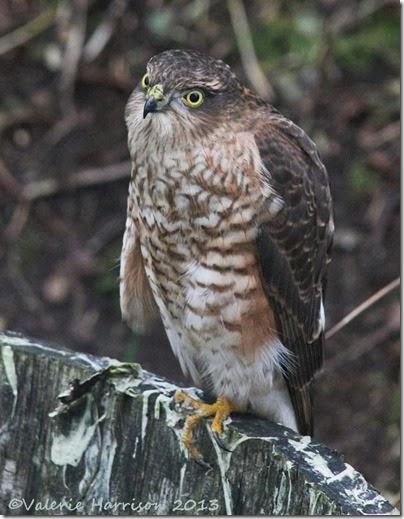 sparrowhawk-3