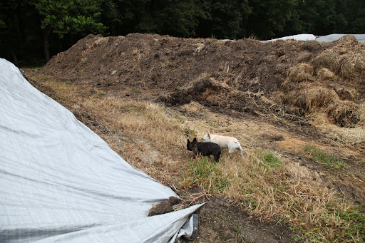 We're lucky, here at the farm, because we also have a manure pile and manure is fuel for cooking the compost.  When it's mixed into the compost, it helps to raise the temperature to 'cook' it.