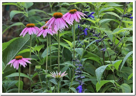 110623_Echinacea-Kims-Knee-High_06