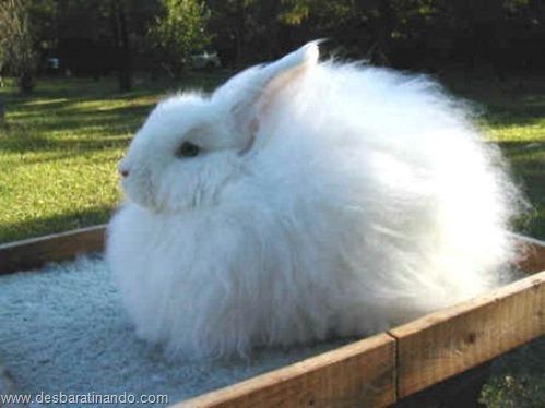 coelho angora peludo desbaratinando (9)