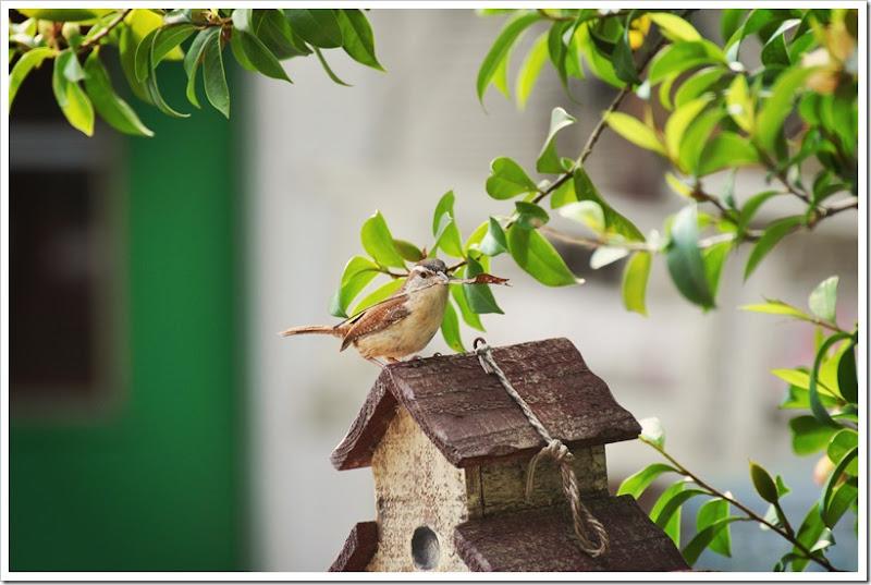 Wren nest building 036 allure