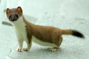 Amazing Pictures of Animals, photo, Nature, exotic, funny, incredibel, Zoo, Stoat, Mustela erminea, Alex (2)