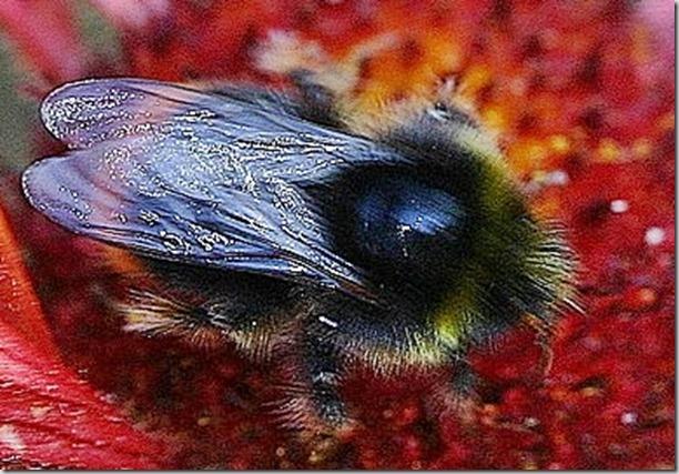 flue i gul bl