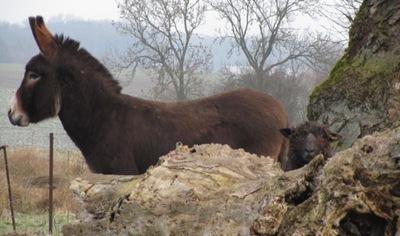 Esel und Wensleydale-Bock