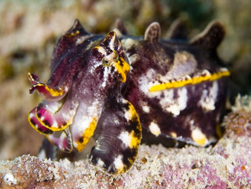 Amazing Pictures of Animals, Photo, Nature, Incredibel, Funny, Zoo, Metasepia pfefferi, Pfeffer's flamboyant cuttlefish, Alex (1)