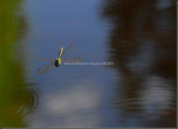perhonen  sudenkorentoja 095