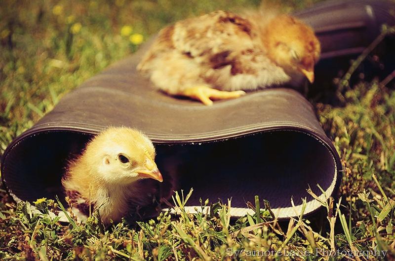chicks-w