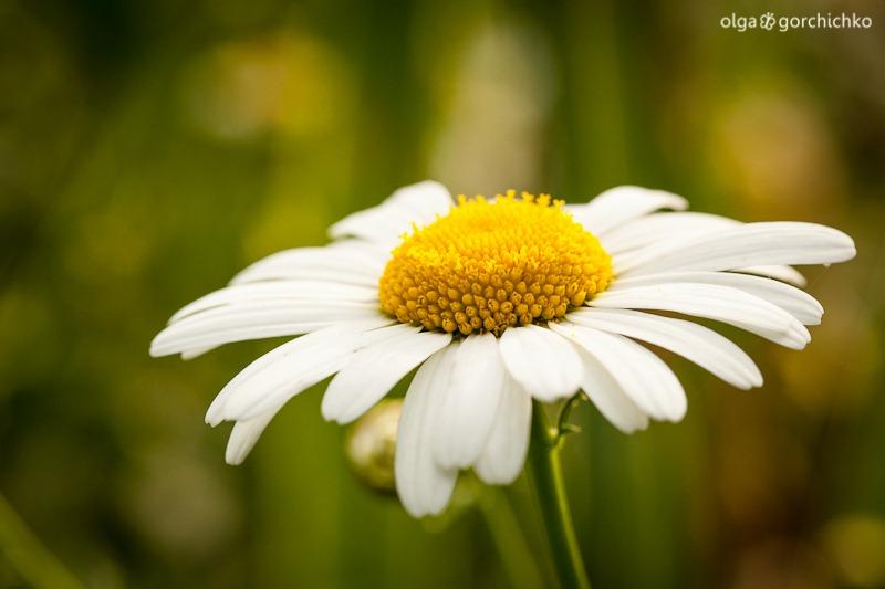 letniye cvety_9