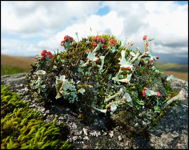 Pixie Cup (Cladonia pyxidata