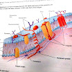 cell-membrane.jpg
