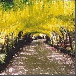 GOLDEN_CHAIN_TREE (1)