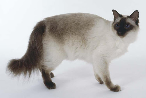 balinese cat pictures Photo