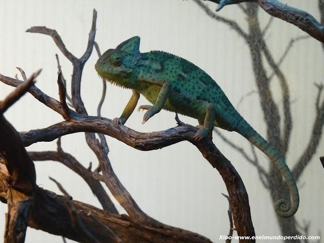 terrario-con-camaleon.JPG